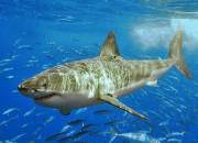 Tubarão-branco. Foto: Terry Goss / Wikimedia Commons.